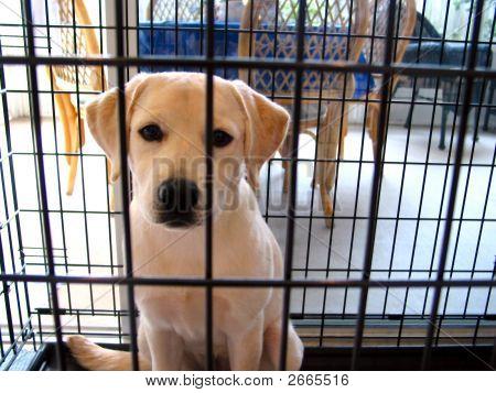 Amarillo Labrador Retriever cachorro