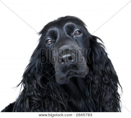 Black English Cocker Spaniel Dog On White