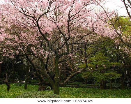 rosa flores de cerejeira na Primavera em razão do Palácio Imperial de Tóquio.