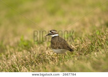 Killdeer Searching The Field For A Meal