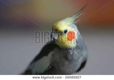 Cockatiel Parakeet (Nymphicus hollandicus)