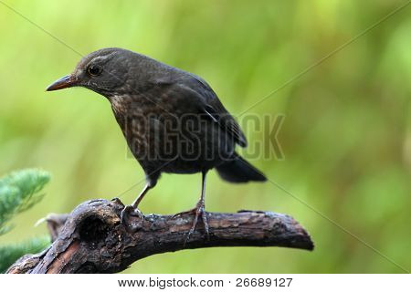 blackbird (Turdus merula) in a winter garden