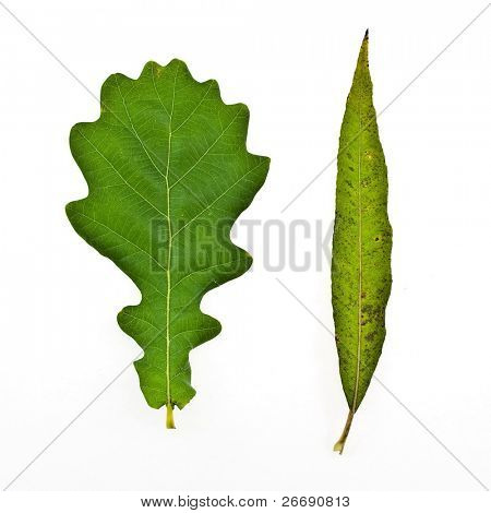 autumn colorful osier and oak leafs isolated on white