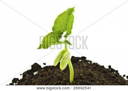 Bean seed germinating shot