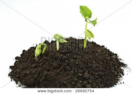 Bean seeds germinating shot