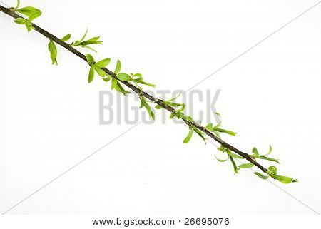 Branch osier tree with spring buds isolated on white
