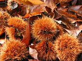 Autumn chestnuts and leaves
