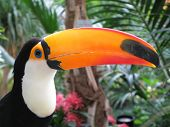 foto of tropical birds  - Toucan bird - JPG