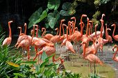 image of pink flamingos  - Caribbean flamingos - JPG