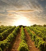 stock photo of vines  - rows of vines to sunset - JPG