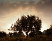 silhouette of olive tree at dawn