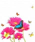 stock photo of butterfly flowers  - Pink gerberas flowers with exotic butterflies - JPG
