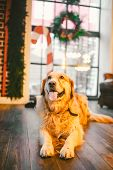 A Pedigree Adult Golden Retriever, Labrador Sits In Full Growth On The Background Of A Window Decora poster