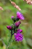 Wild Pink Blooming Thistle. Violet Flowers. Blooming Flowers. Pink Thistles On A Green Grass. Meadow poster
