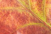 Colorful Background Of Autumn Oak Tree Leaf Background Close Up. Multicolor Oak Leaf Autumn Backgrou poster