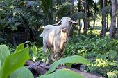 White Goat In Summer Garden, Animal Photo. Cute Fluffy Goat With Thread On Neck. Farm Animal On Past poster