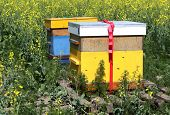 stock photo of bee keeping  - bee hives on a colza field in friesland - JPG