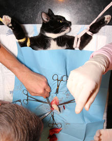 image of castration  - surgical castration of cat - JPG