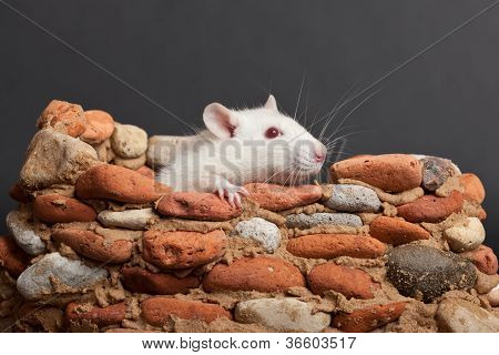 White Rat In Fortress