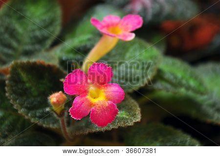 pink episcia
