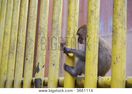 Monkey On Fence At The Batu Caves Temple