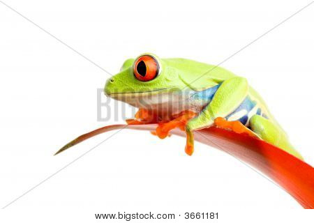 Red-Eyed Tree Frog On Plant Isolated