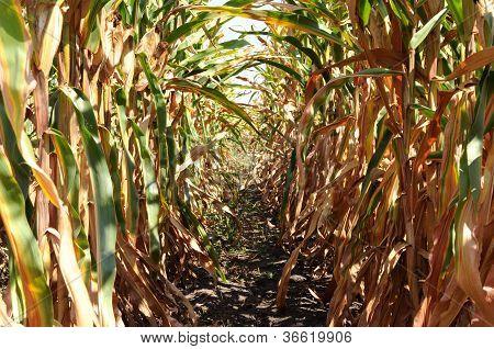 Zeit der Ernte von Mais-Bauernhof