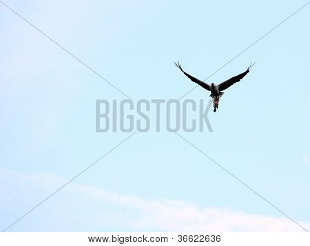 White-bellied Fish Eagle With Fish Far View