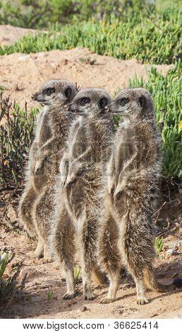 Three Meerkats in a row