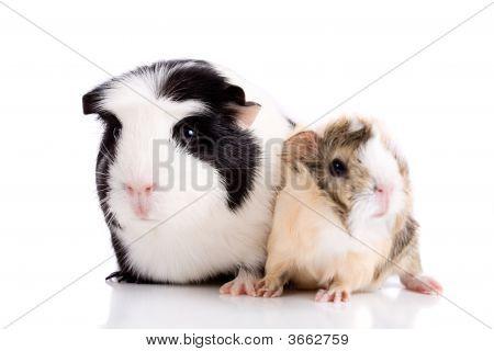 Family Guinea Pigs