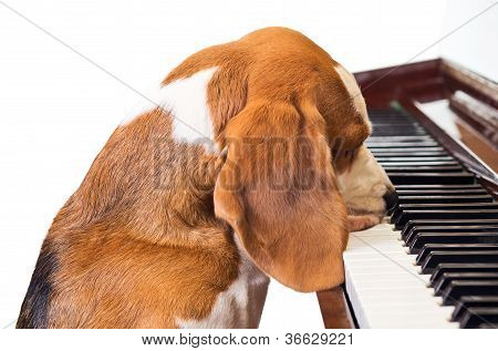 Dog Playing The Piano