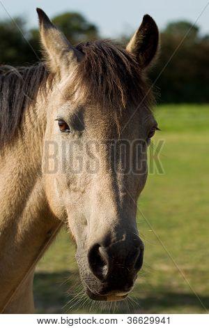 Portrait Of A Connemara Pony