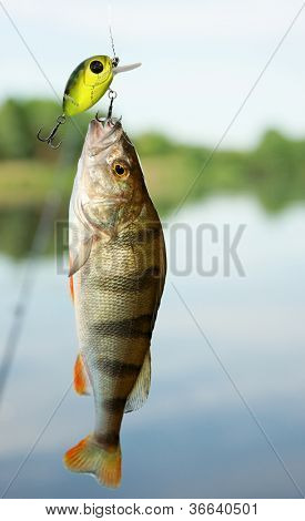 Perch caught on plastic lure against the landscape