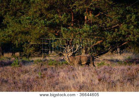 Red Deer In The Heath