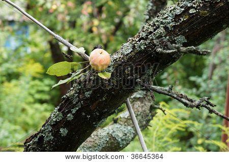 Apple on the tree