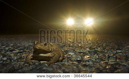 Frog crossing road at night