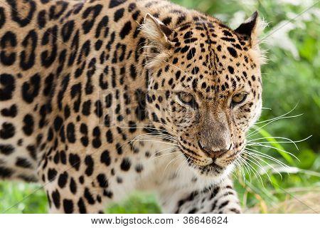 Head Shot Of Amur Leopard Stalking Forwards
