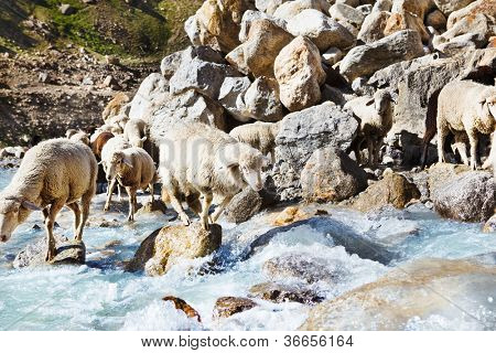 Sheep group jumping over stones