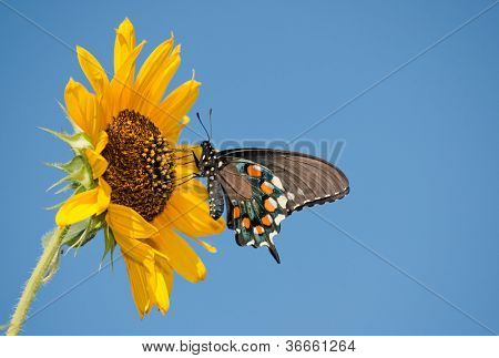 Green Swallowtail butterfly feeding on a yellow Sunflower against clear blue sky