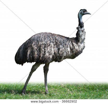 Australian Emu Ostrich