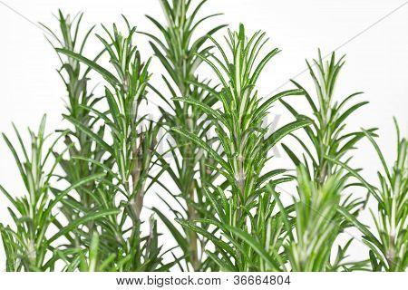 Rosemary (Rosmarinus officinalis) on white background