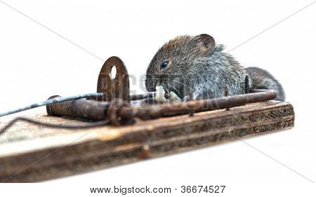 Dead Mouse In Mousetrap On  White Background