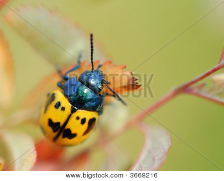 Black And Yellow Beetle Macro With Room For Text