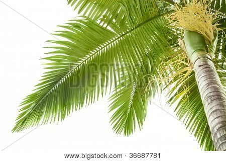 Plam tree on the white background