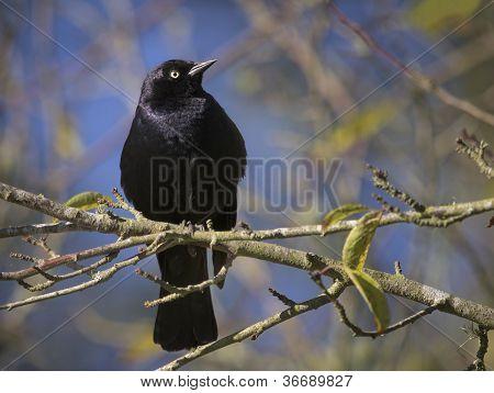 Brewers Blackbird on Limb