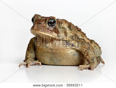 Toad Isolated on White Background