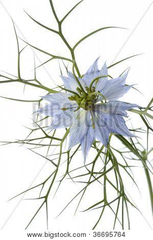 Blue Nigella flower close up on white background