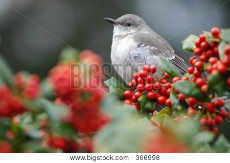 Bird Nestled On Holly