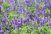 picture of blue-salvia  - Meadow with blooming Blue Salvia herbal flowers - JPG