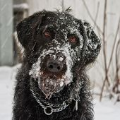 stock photo of cross-breeding  - Portrait of a black labradoodle dog playing in the snow - JPG